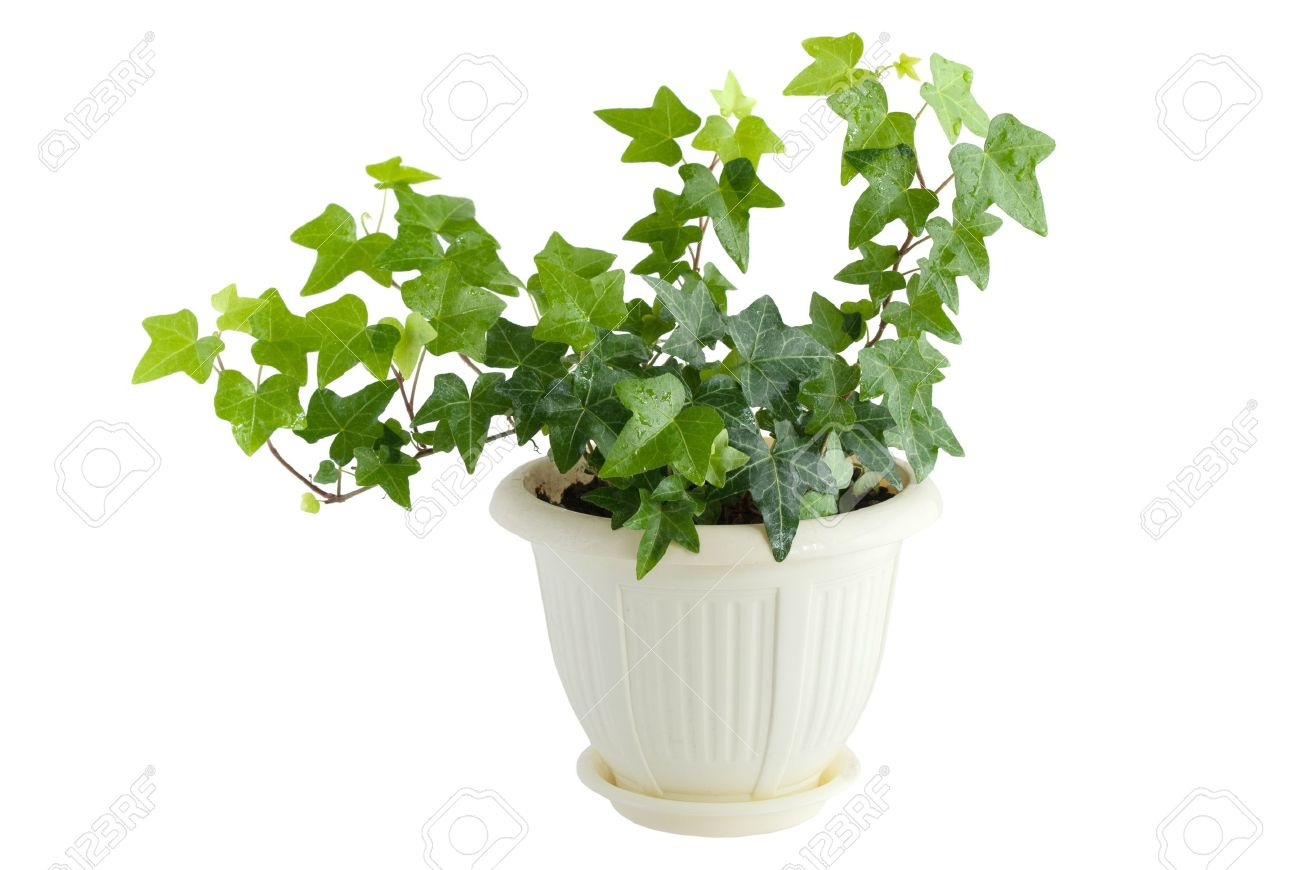 7997507-edera-verde-in-vaso-di-fiori-isolato-su-sfondo-bianco-archivio-fotografico