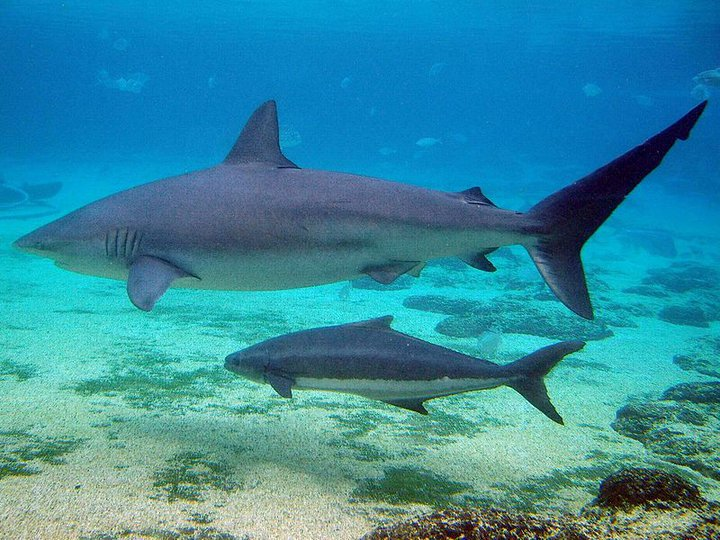 squalo-con-cucciolo